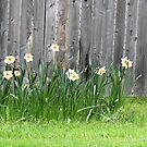 Doffodils along the Fence by Rosalie Scanlon
