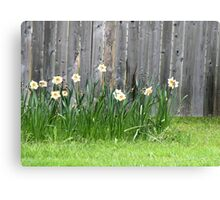 Doffodils along the Fence Canvas Print
