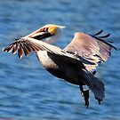 Pelican Flight by Colleen Rohrbaugh