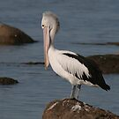 Pelican by Debra LINKEVICS