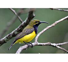 Yellow-bellied Sunbird(Male) Photographic Print