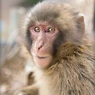 Japanese macaque by Sam  Jackson