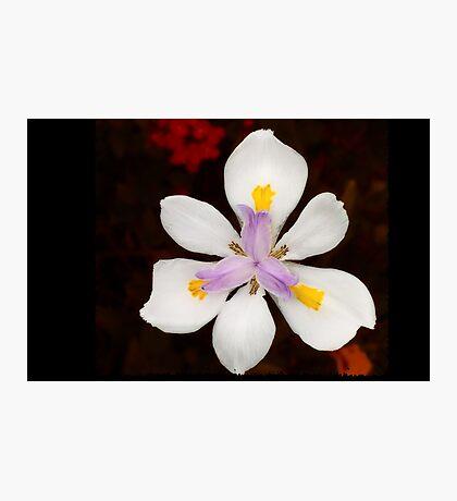 Wild Iris Photographic Print