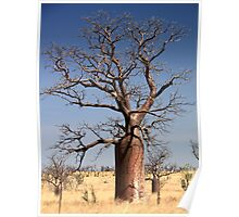 boab trees Derby WA Poster