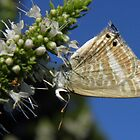 Long-tailed Pea-blue Butterfly (Lampides boeticus) by Dan & Emma Monceaux