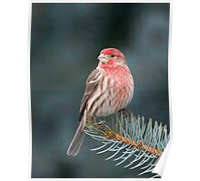 House Finch on Spruce Poster