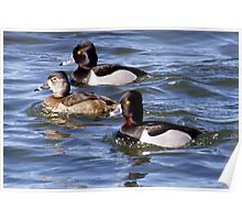 Ringneck ducks on Walden Ponds Poster