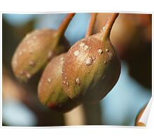 GUM TREE SEED PODS  Poster