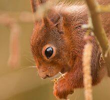 Red squirrel by Tony Hadfield