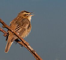 sedge warbler by Grandalf