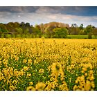 """Mellow Yellow""- Cheshire,UK by AndyBiggar"