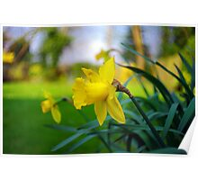 Daffodil in Summer Poster