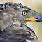 """""""African Birds of Prey"""""""