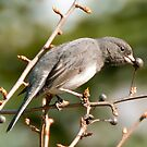 The Junco by Scott  Hafer