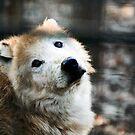 Sad wolf by iulix