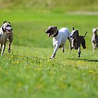 Whippets and ONLY Whippets  by whippeteer