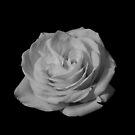 B&W Rose #3 by Sam Davis