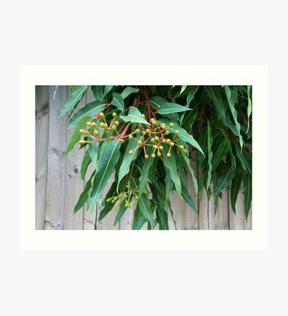 Eucalyptus buds Art Print