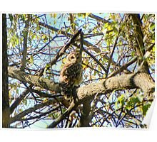 Camoflaged Barred Owl Poster