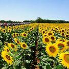 Tour de France Sunflowers by procycleimages