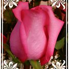 Pretty Pink Rose by Judith Hayes