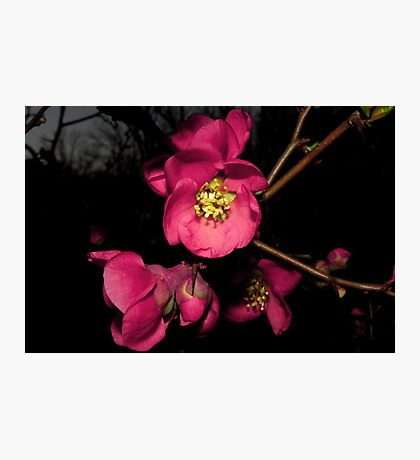 The Lovely Flowering Quince Photographic Print