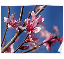 Peach Tree Blossoms of Spring Poster