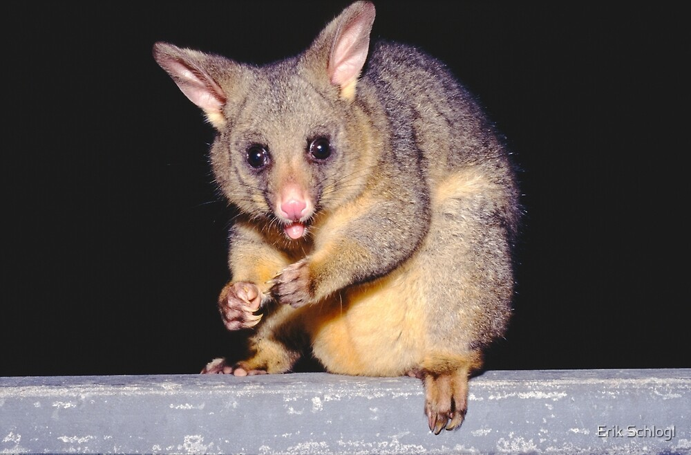 Possum on the balcony, Sydney by Erik Schlogl