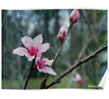 Stages of Spring - Bare Limb, Bud, Blossom Poster