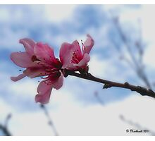 Floating On Air - Spring Peach Blossoms Photographic Print