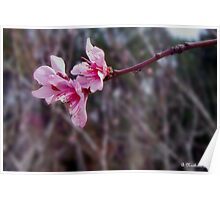 Out On A Limb - Peach Tree Spring Blossoms Poster