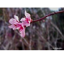 Out On A Limb - Peach Tree Spring Blossoms Photographic Print