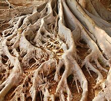 Tree Roots in Balboa Park by Anna Lisa Yoder