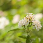 White Lantana closeup by rajeshbac