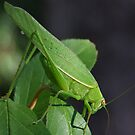 Katydid Close-Up by Rick Playle