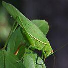 Katydid Close-Up by Rick Playle