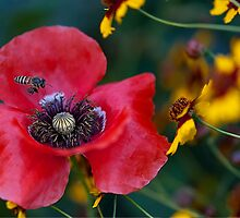 Honey Bee and The Poppy Flower by Mukesh Srivastava