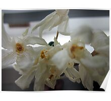 Wilted Paperwhites Poster