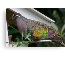 Bronzewing Pigeon two Canvas Print