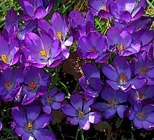Crocus Cluster by RedHillDigital