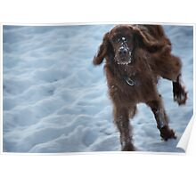 Red setter in snow Poster