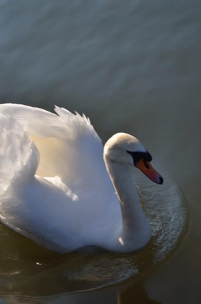 swan by Stephen Frost