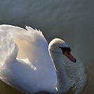 swan by Steve