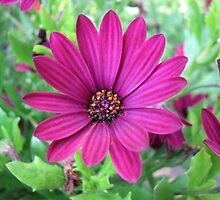 African Summer - Deep Pink Cape Daisy by MidnightMelody