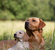 Father and Son - Labrador puppy and father by Natasha Von Bujnoch