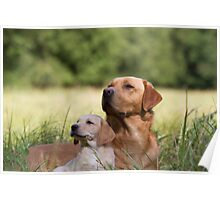 Father and Son - Labrador puppy and father Poster