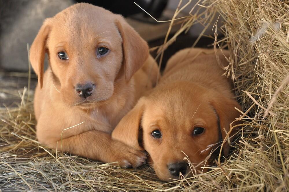 Two Brothers - Yellow Labrador Puppies by Natasha Von Bujnoch