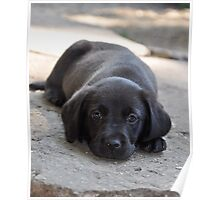 Dreamer - Labrador puppy in deep Thoughts Poster