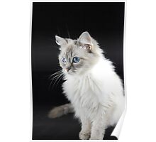 pettle the ragdoll cat Poster