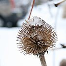 Winter Excuse for a Cone Flower by Anna Reinalda